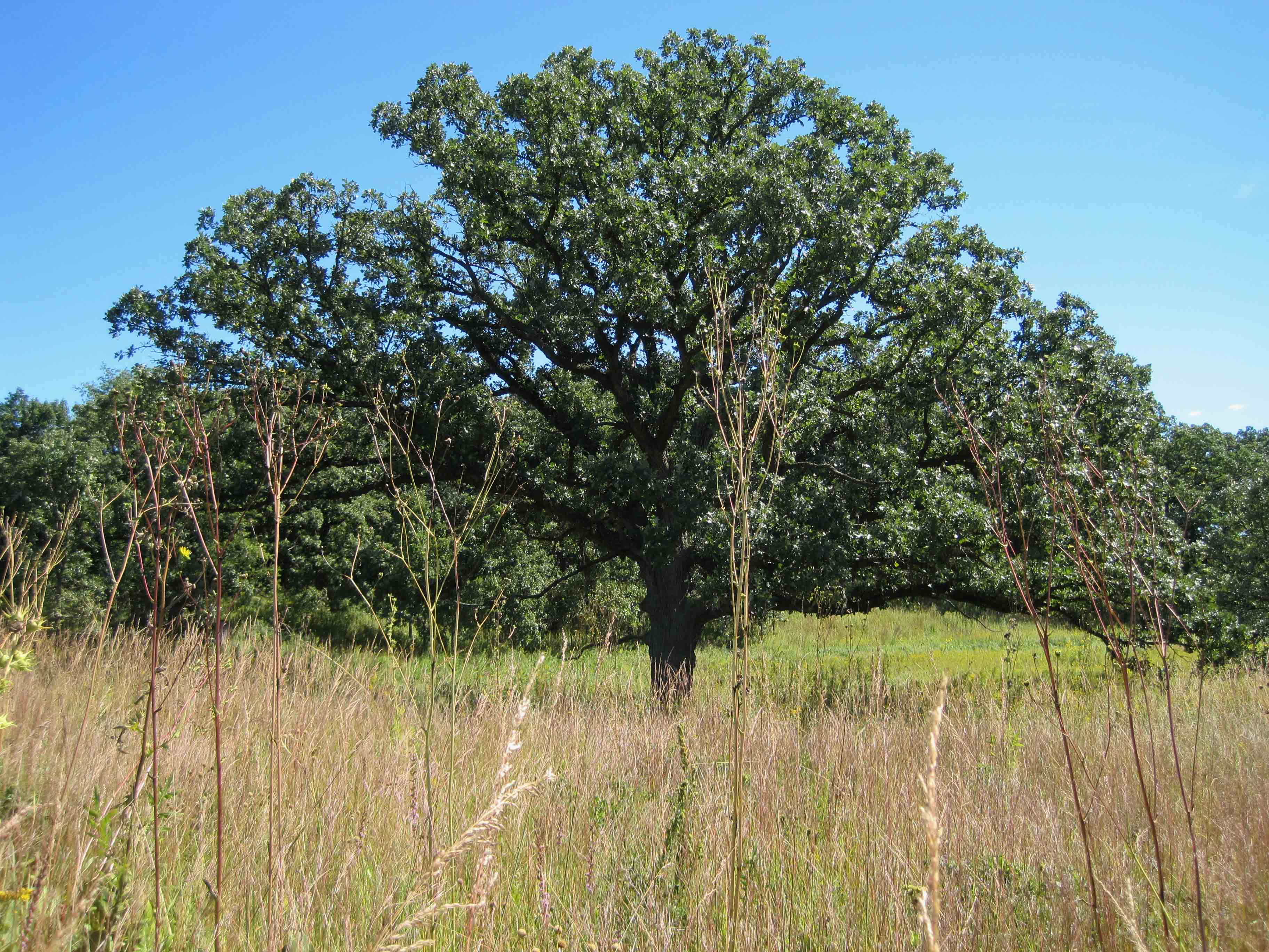 What's the best replacement for my dying ash tree? – Citizens for