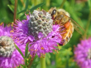 Purple Prairie Clover_C