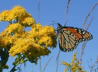 monarch goldenrod